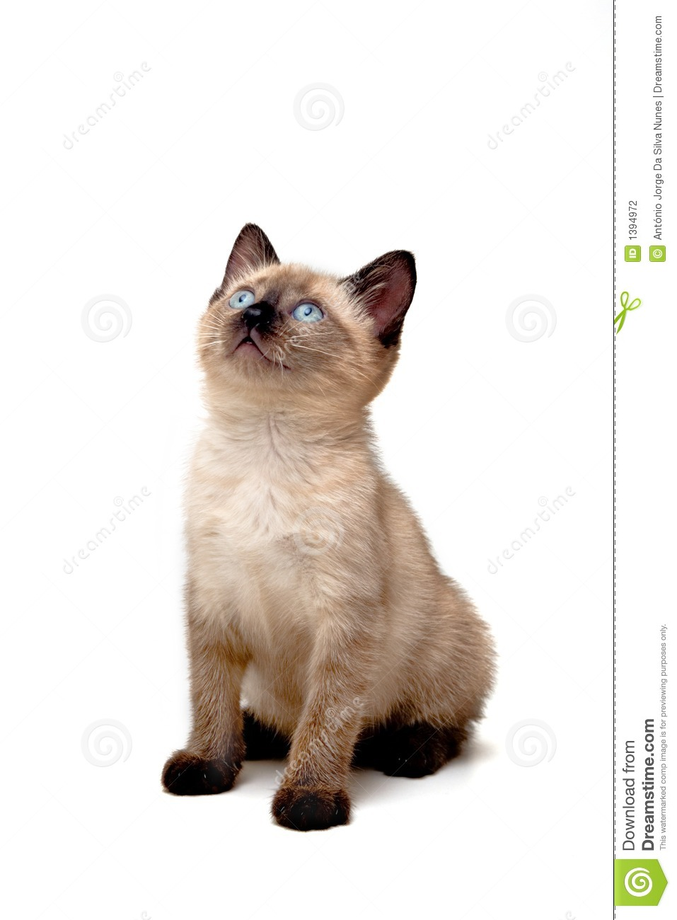 Baby Siamese Kitten Stock Photo Image Of Concern Charming