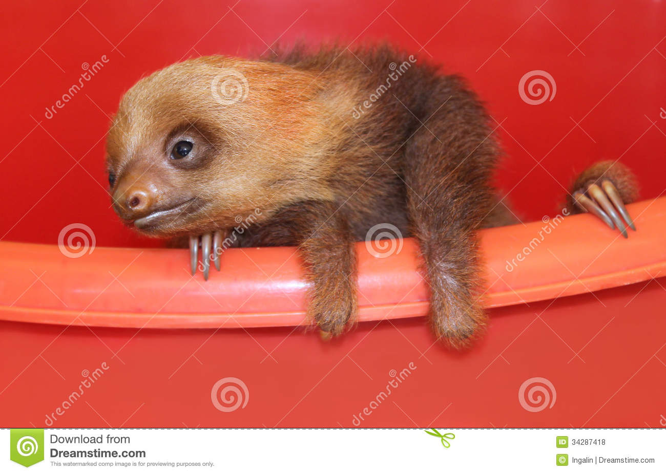 Baby Sloth In An Animal Sanctuary, Costa Rica Royalty Free Stock ...