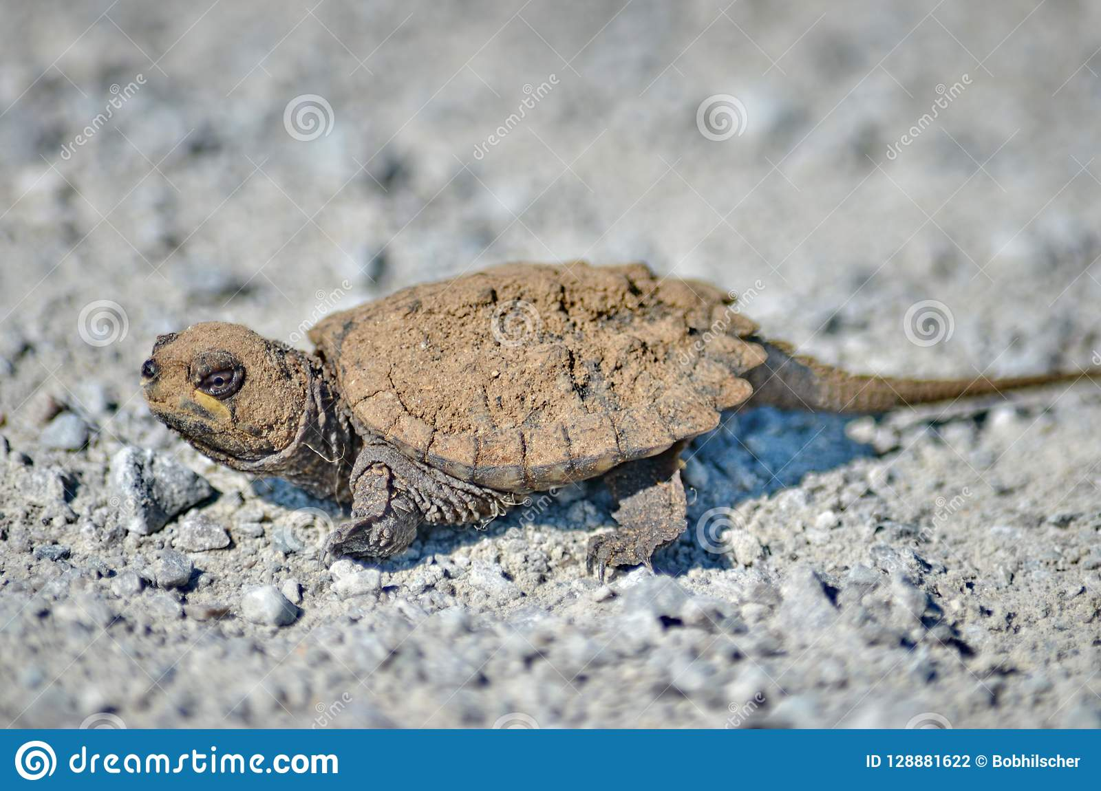 A Baby Snapping Turtle Stock Photo Image Of Nature 128881622