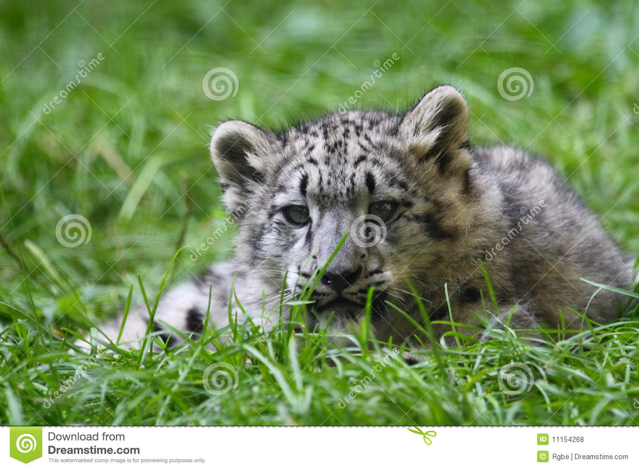 Baby Snow Leopard This Is Finding Sth Its Interested In Royalty Free