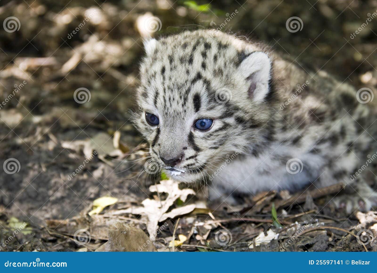 Baby white leopard - photo#12