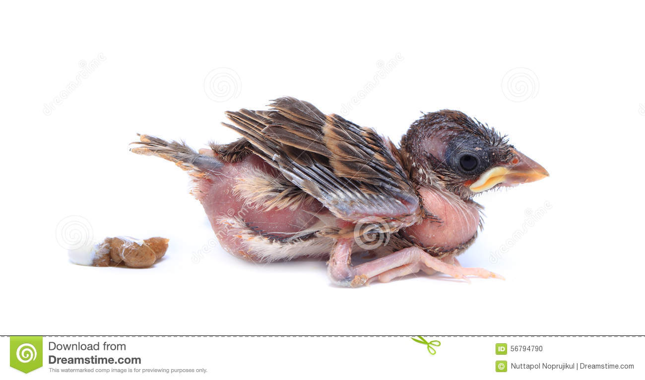 Baby Sparrow Bird Is Defecate On White Background. Stock