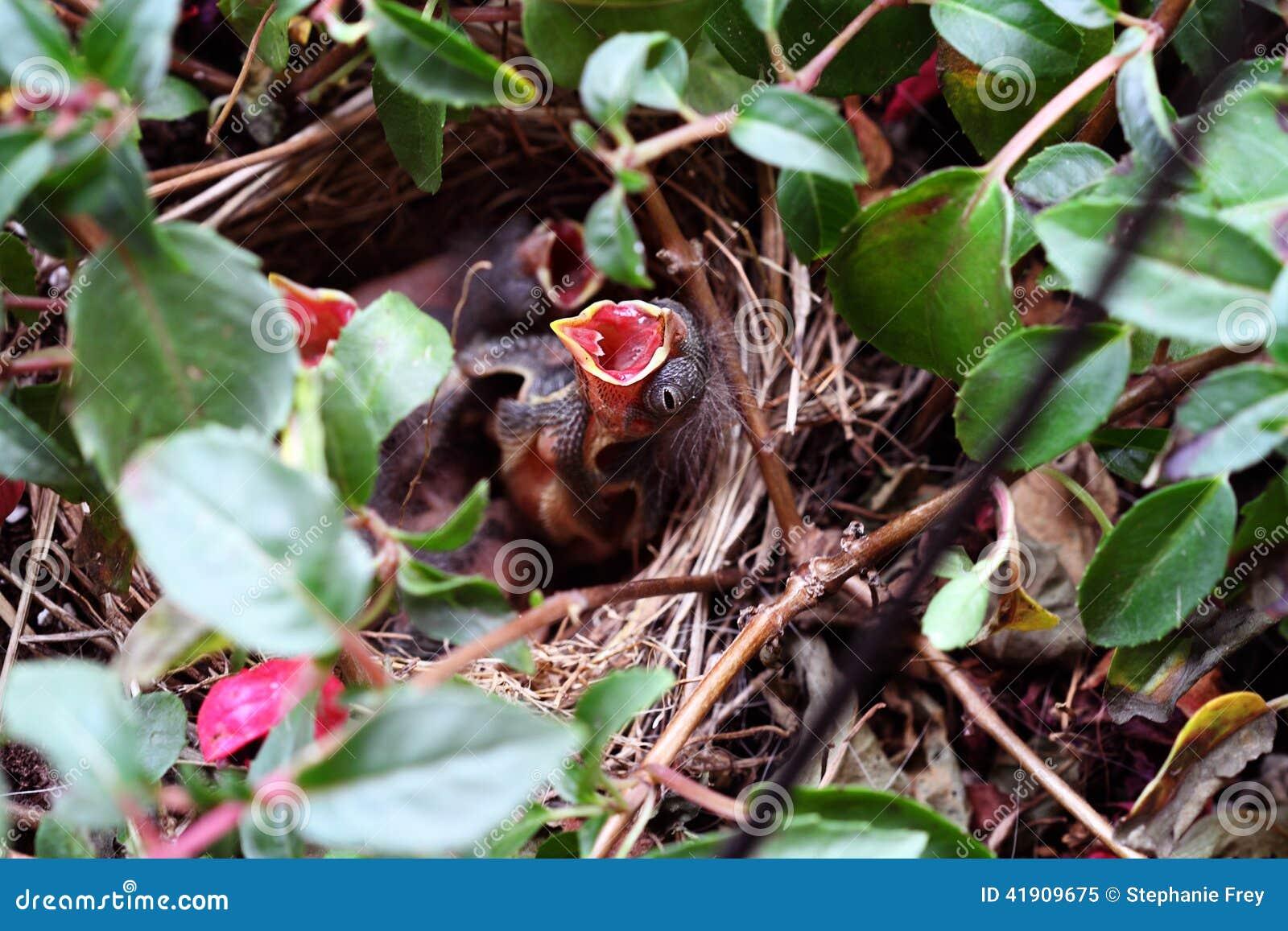 baby spatz in einem nest stockfoto bild 41909675. Black Bedroom Furniture Sets. Home Design Ideas