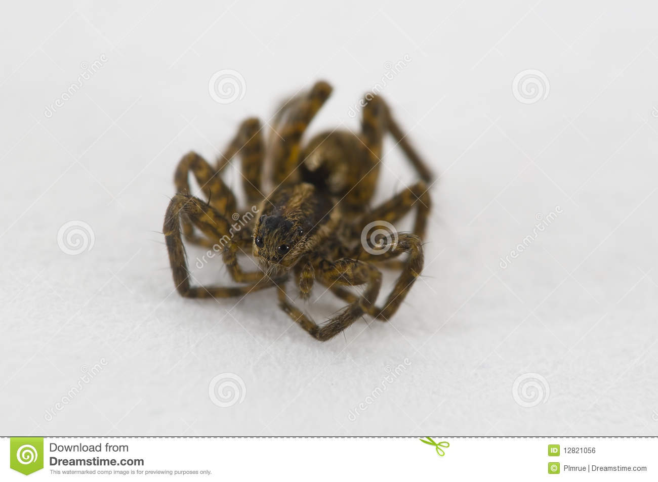 Baby Spider Royalty Free Stock Image - Image: 12821056