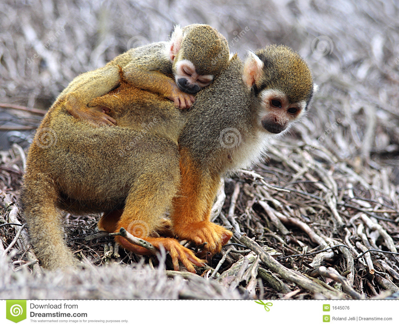 Baby Squirrel Monkey Stock Photo Image Of Mother Parent