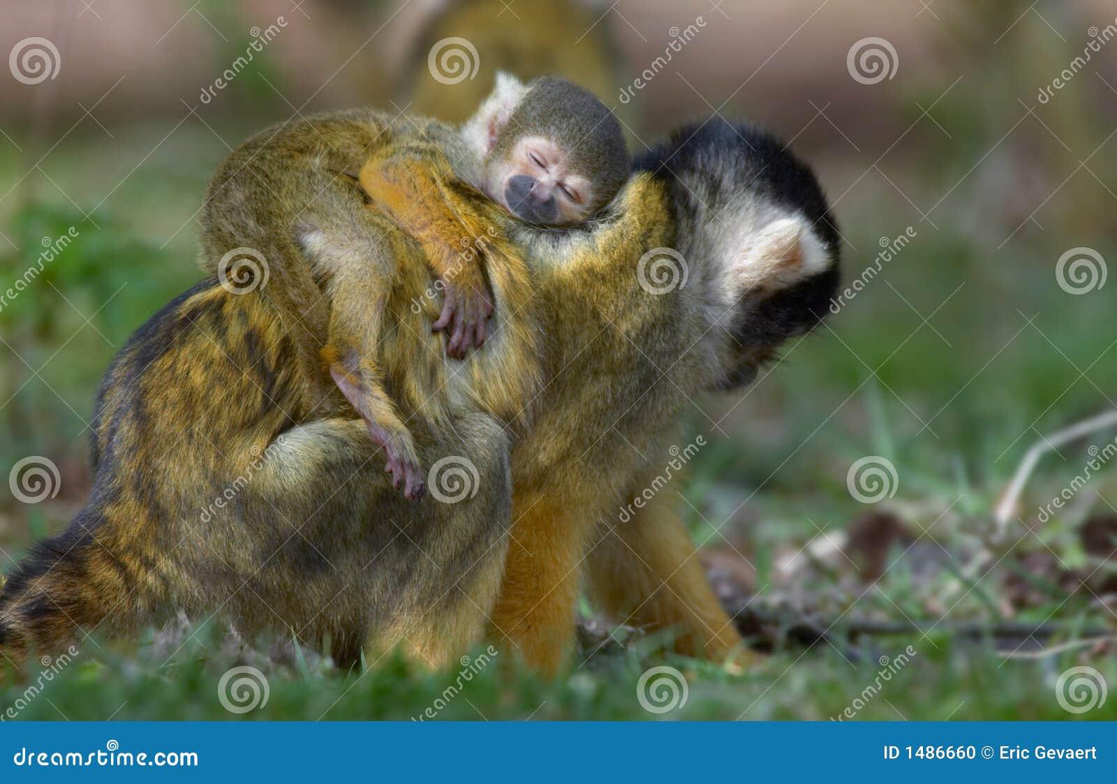 Baby Squirrel Monkey Asleep On Mothers Back Stock Photo Image