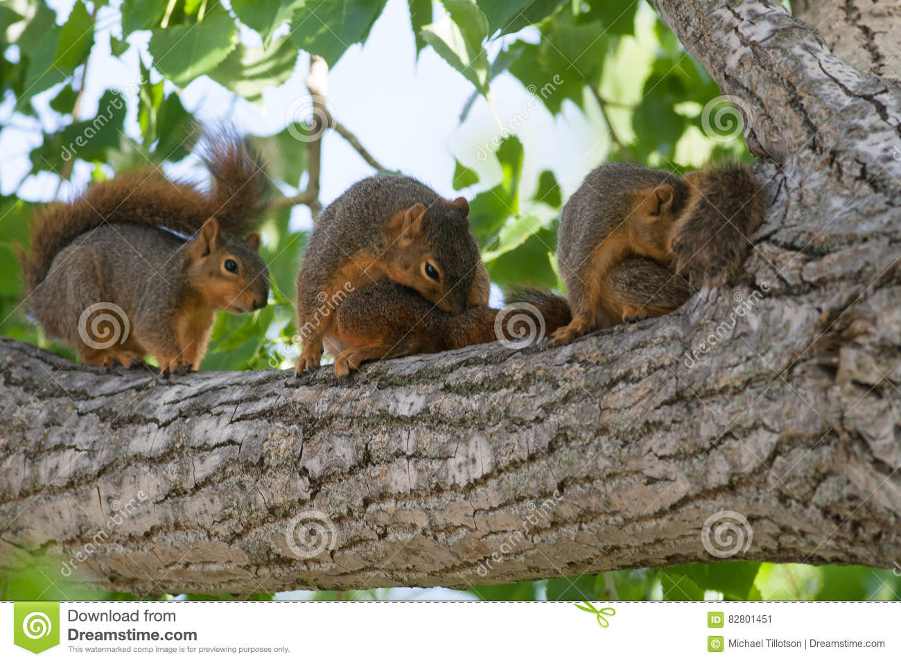 Baby Squirrels in a Tree stock image. Image of cottonwood ...