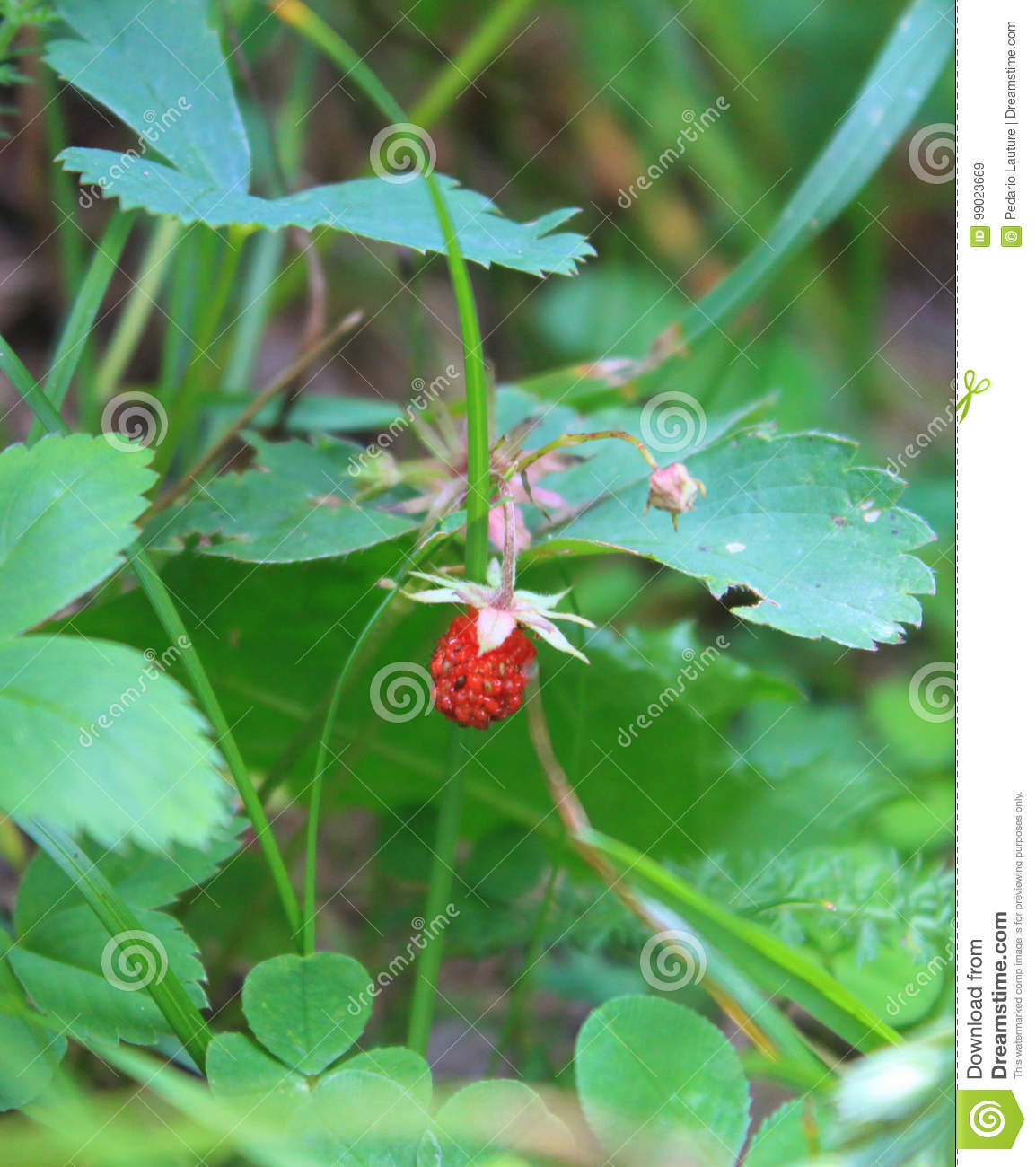 Baby Stawberry