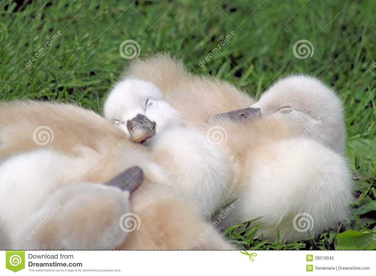 The Sleeping Swans >> Baby Swans Sleeping stock photo. Image of cute, cuddly - 28519042