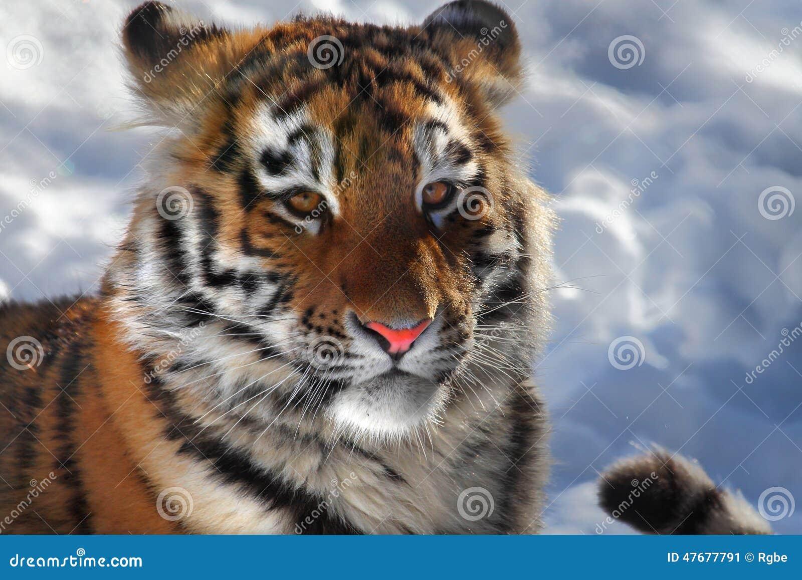 Baby tiger portrait
