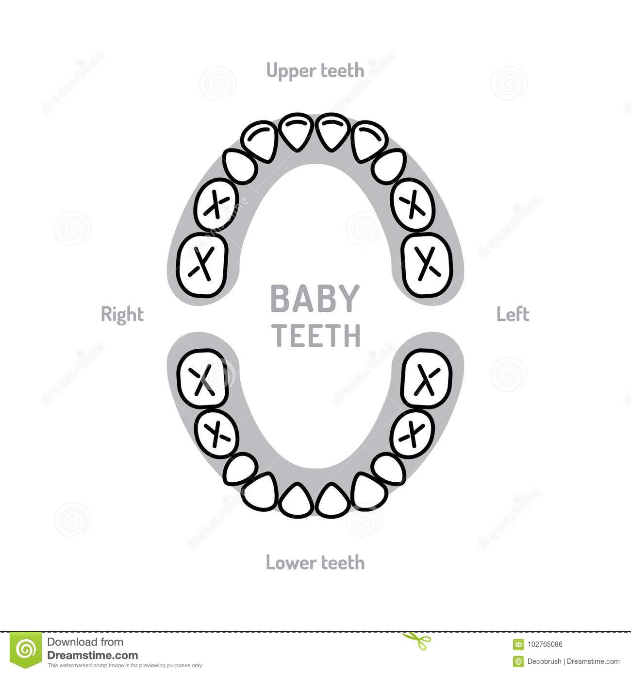 Baby Tooth Chart Baby Mouth. Primary Teeth, Deciduous