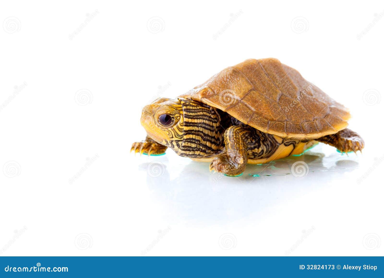 turtle white background - photo #17
