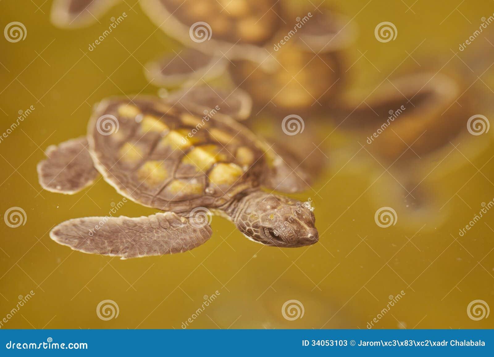 Baby turtle stock image. Image of basin, trough, turtle - 34053103