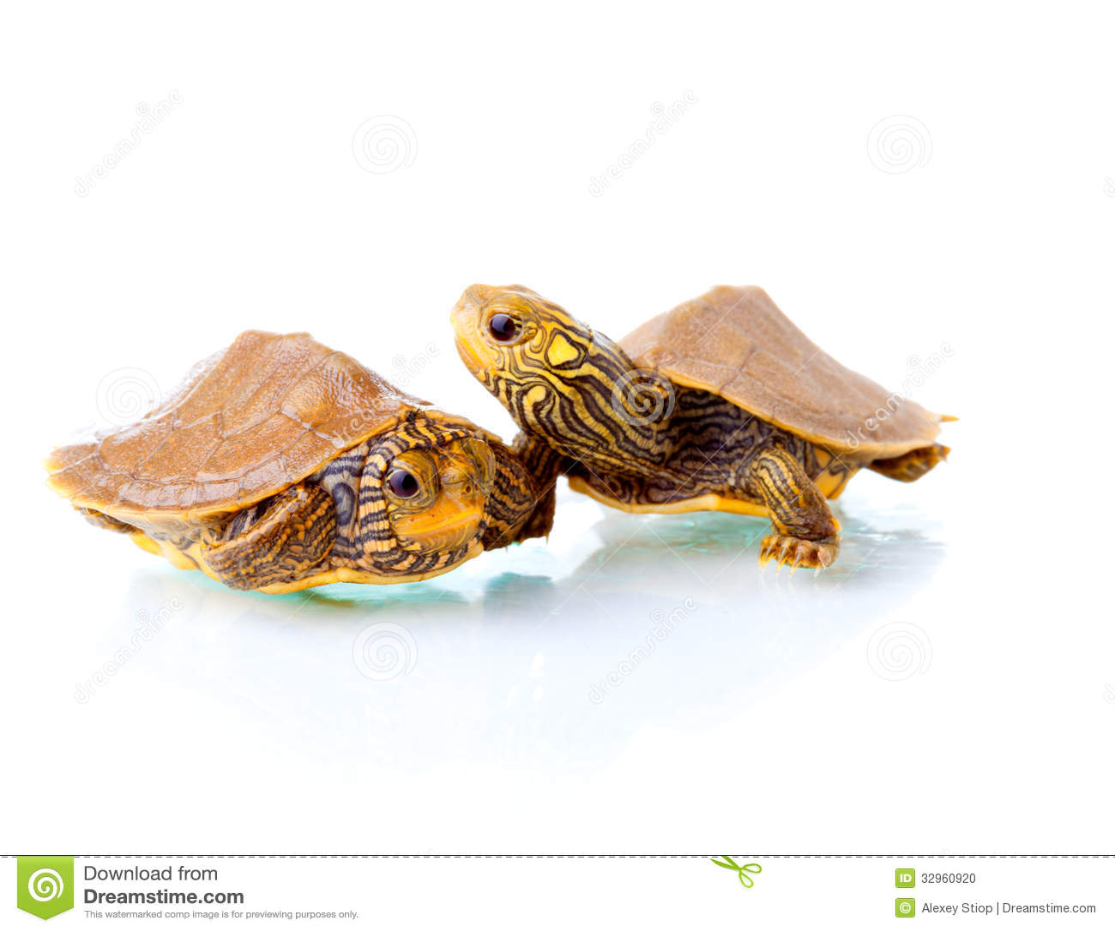 turtle white background - photo #25