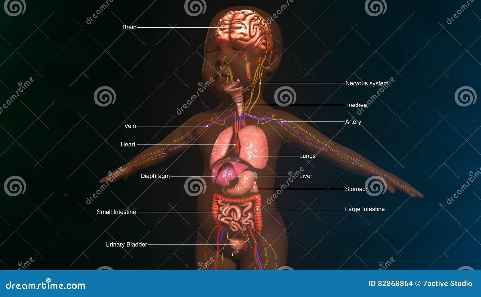 Baby-Verdauungssystem-Anatomie Stockfoto - Bild von ösophagus ...