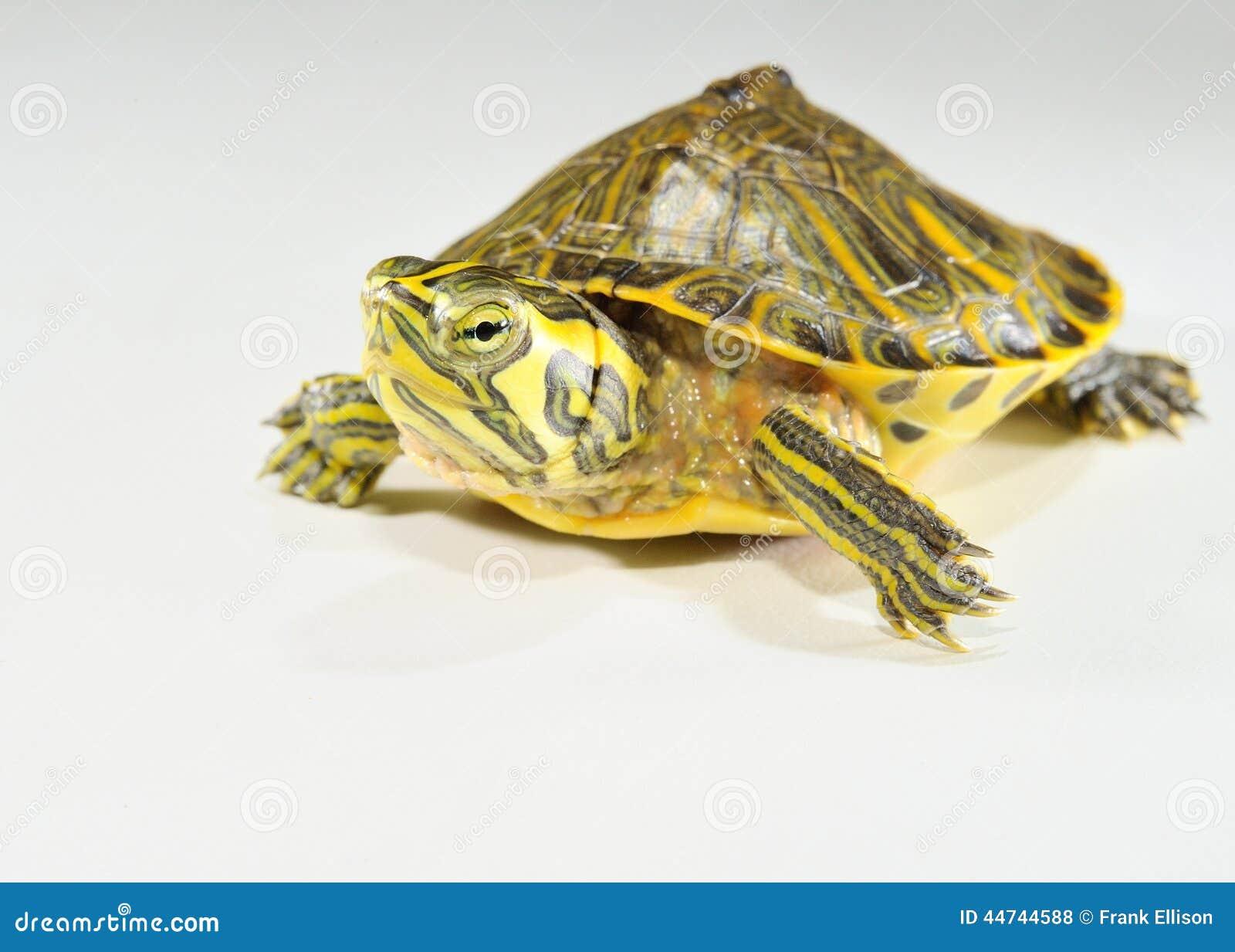 Baby Water Turtle Stock Photo - Image: 44744588