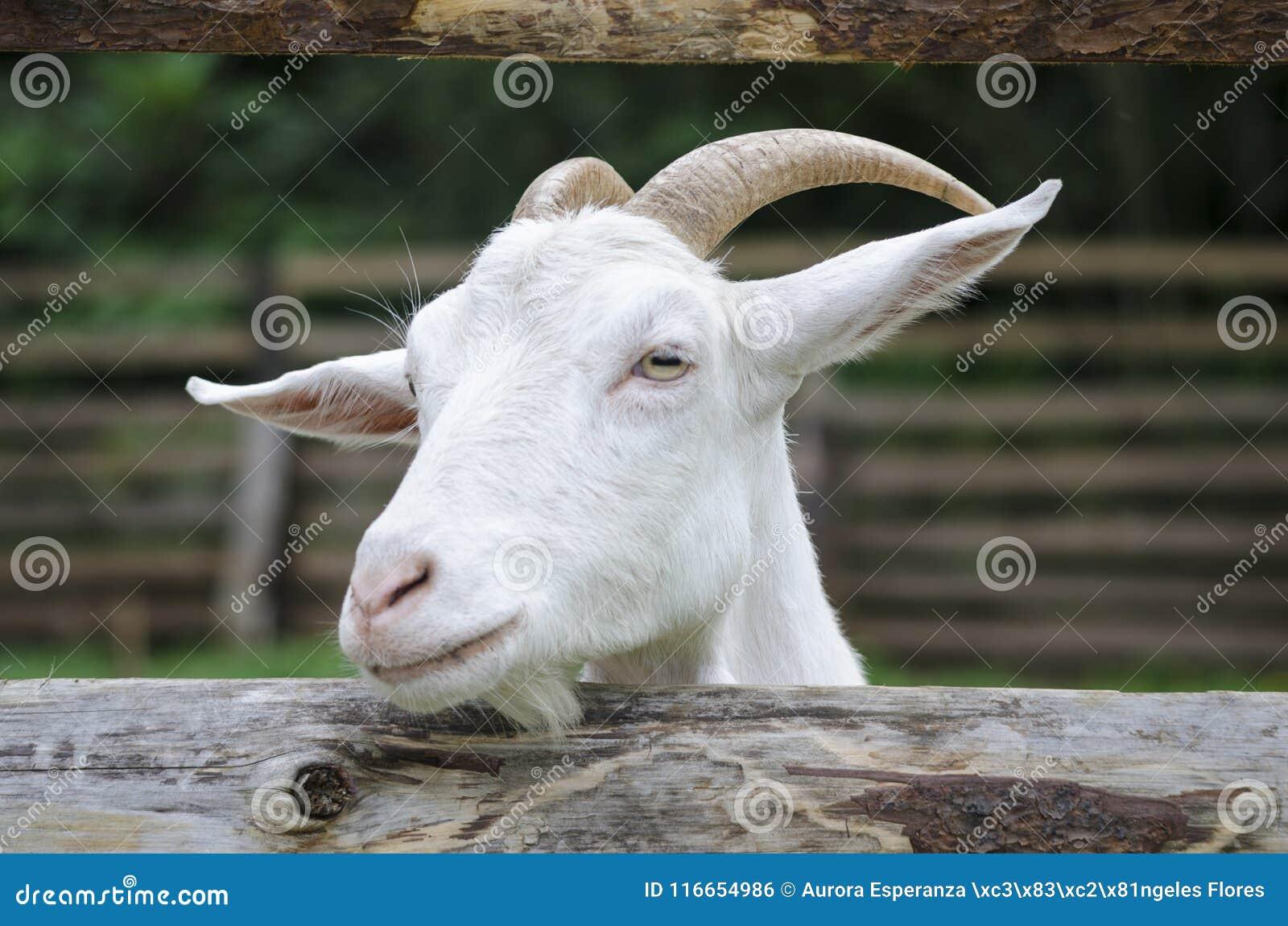 7a0e19fda2e9 A Baby White Goat In The Small Farm. Stock Photo - Image of mammal ...