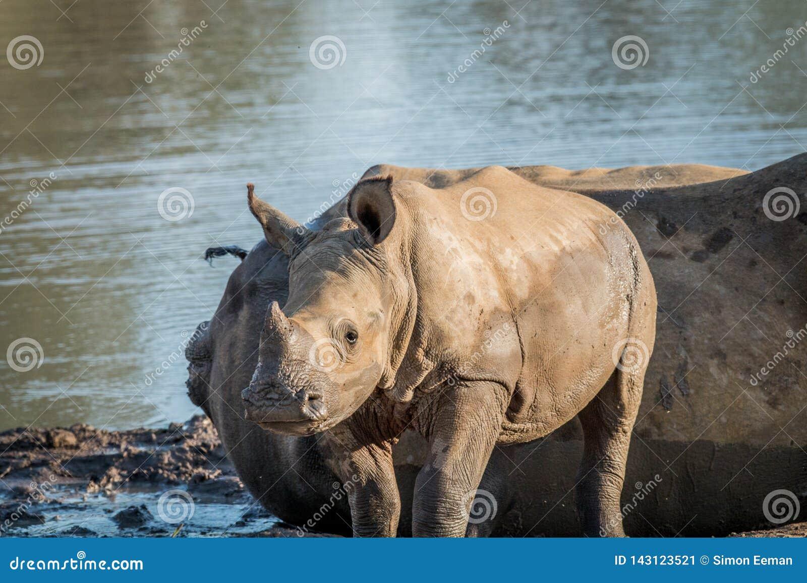 Baby White rhino calf starring at the camera
