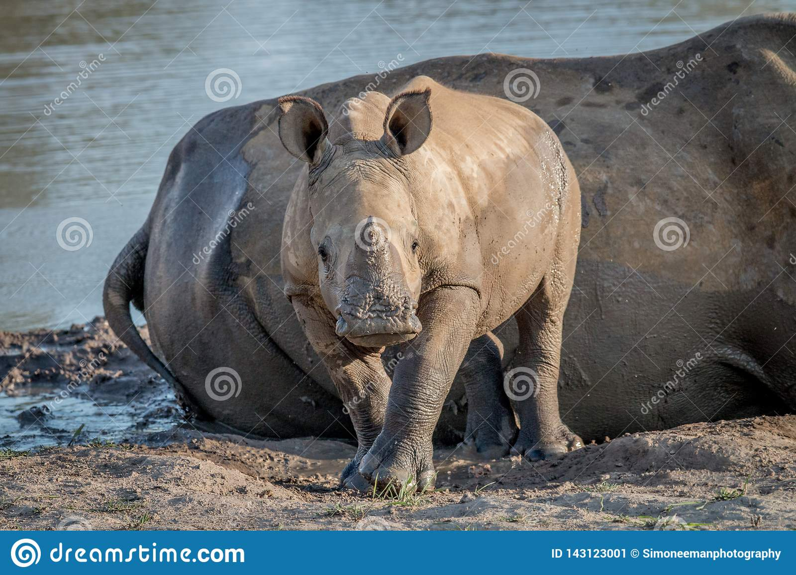 Baby White rhino calf starring at the camera