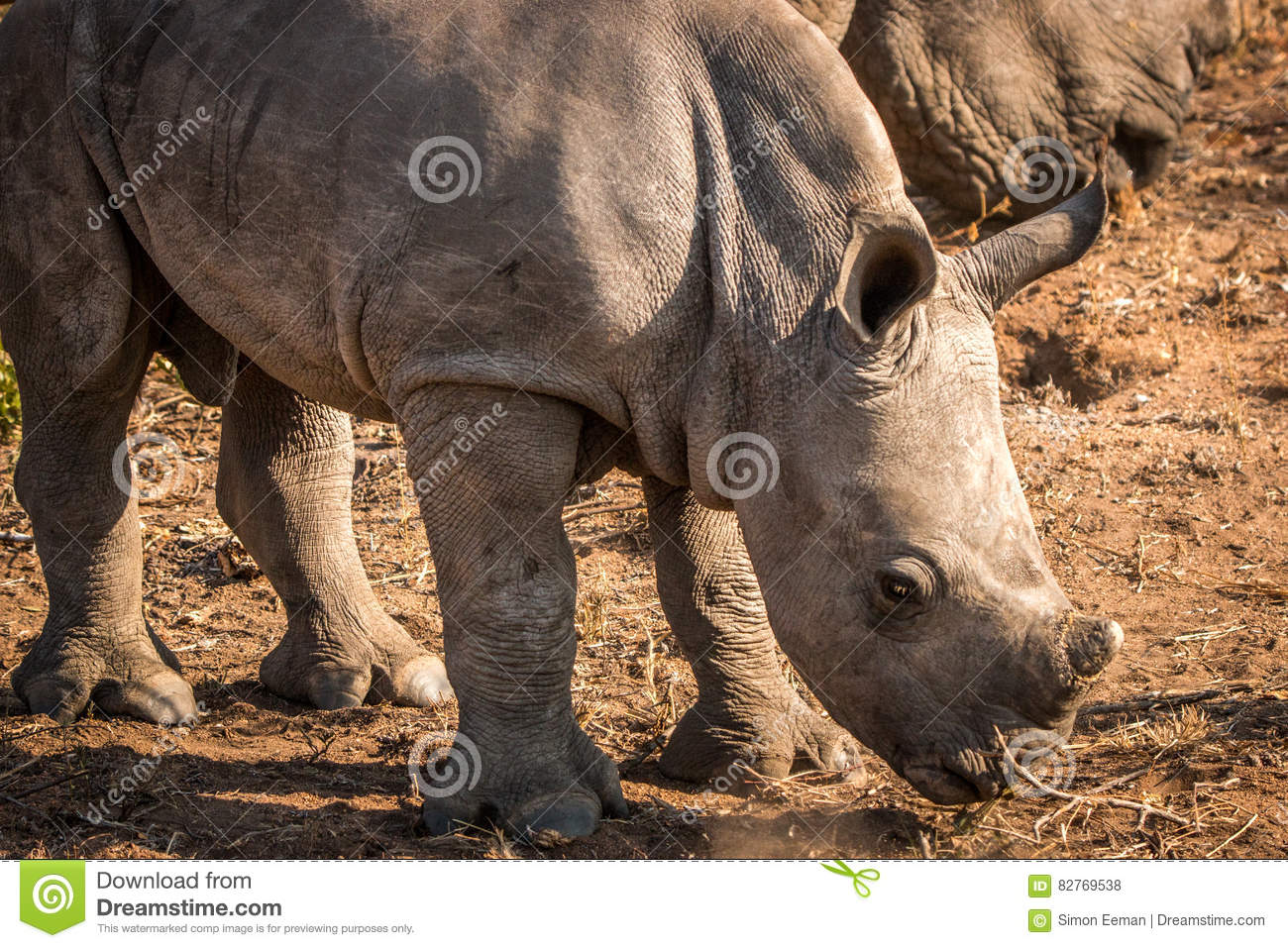 Baby White rhino in the Kruger.
