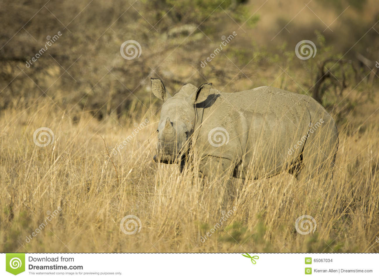 Baby White Rhino in South Africa