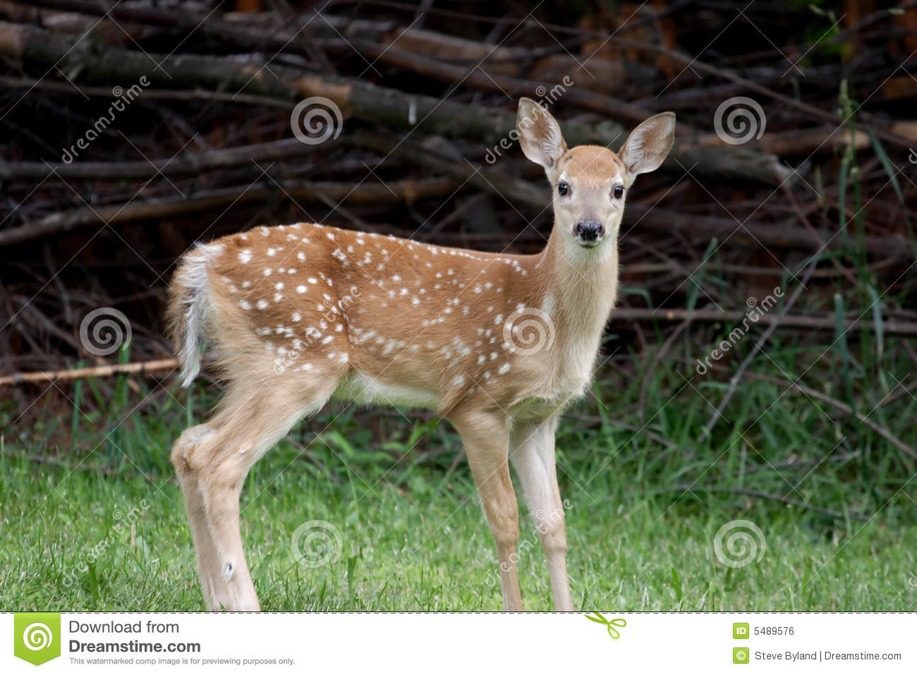 Baby White-tailed Deer Royalty Free Stock Image - Image ... - photo#5