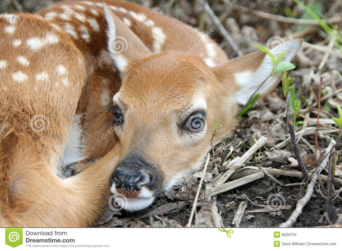 baby white tailed fawn deer stock photos image 8209753