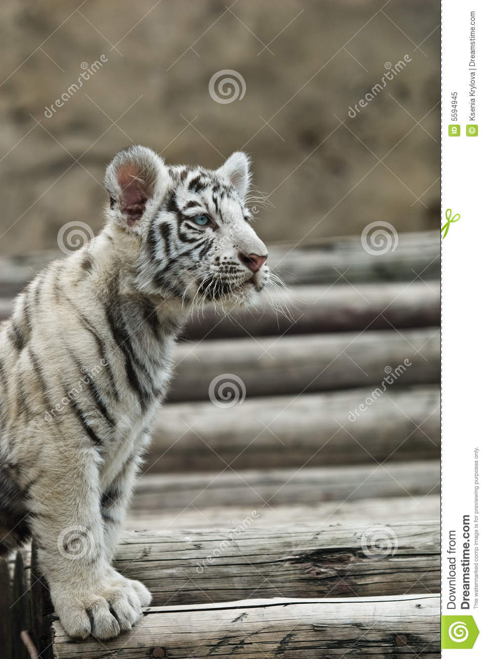 Baby White Tiger Stock Image Image Of Face Tiger