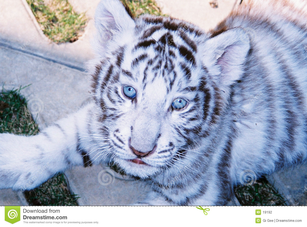 Baby White Tiger In Blue Eyes Stock Photo Image Of Striped Blue