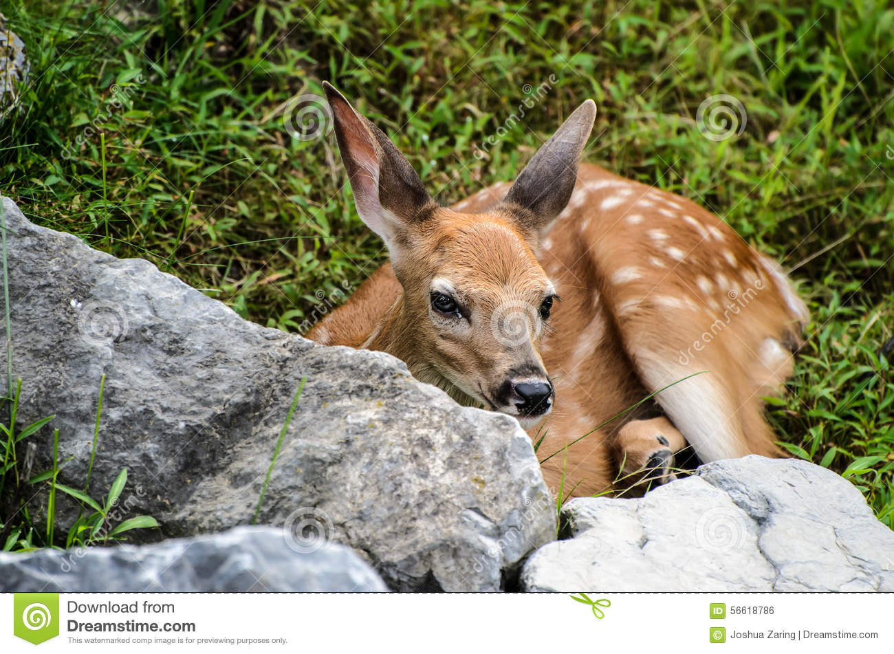 baby whitetail fawn in - photo #47