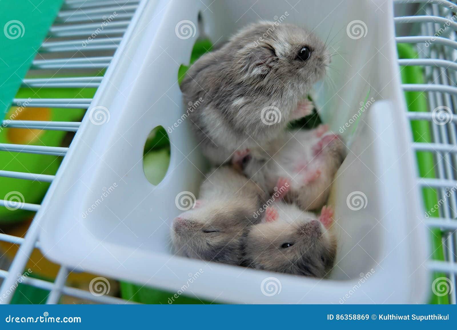 baby winter white hamster wwwpixsharkcom images