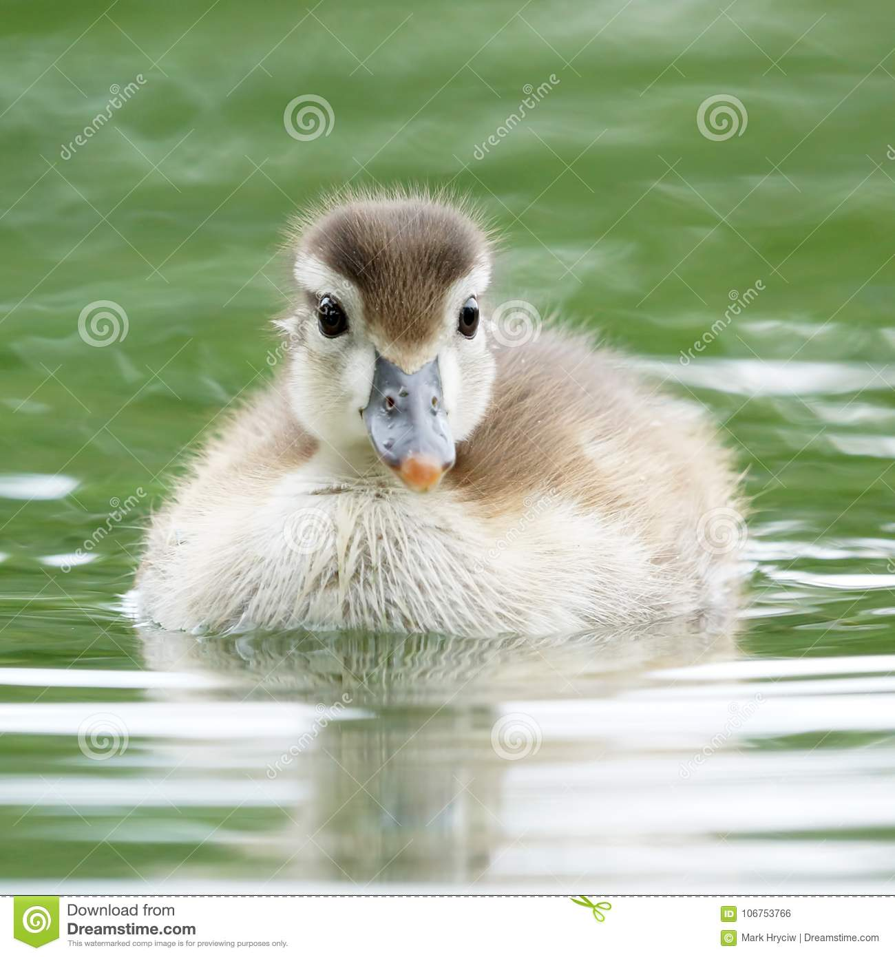 Baby Wood Duckling Swimming in a Pond