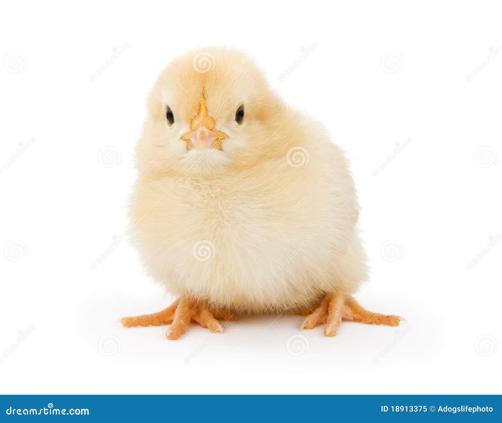 White Baby Chickens