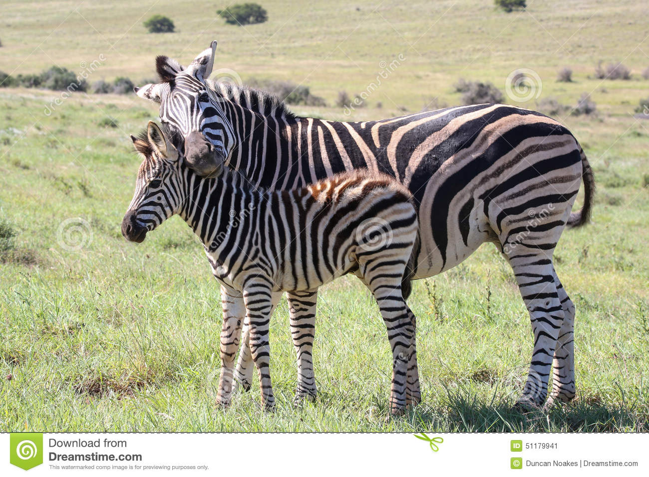 Zebra baby and mother - photo#27