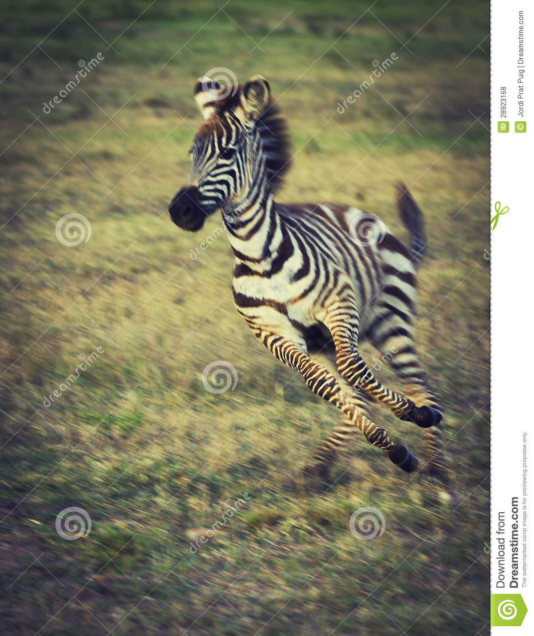 Sweet twins royalty free stock photo image 10320675 - Baby Zebras Playing