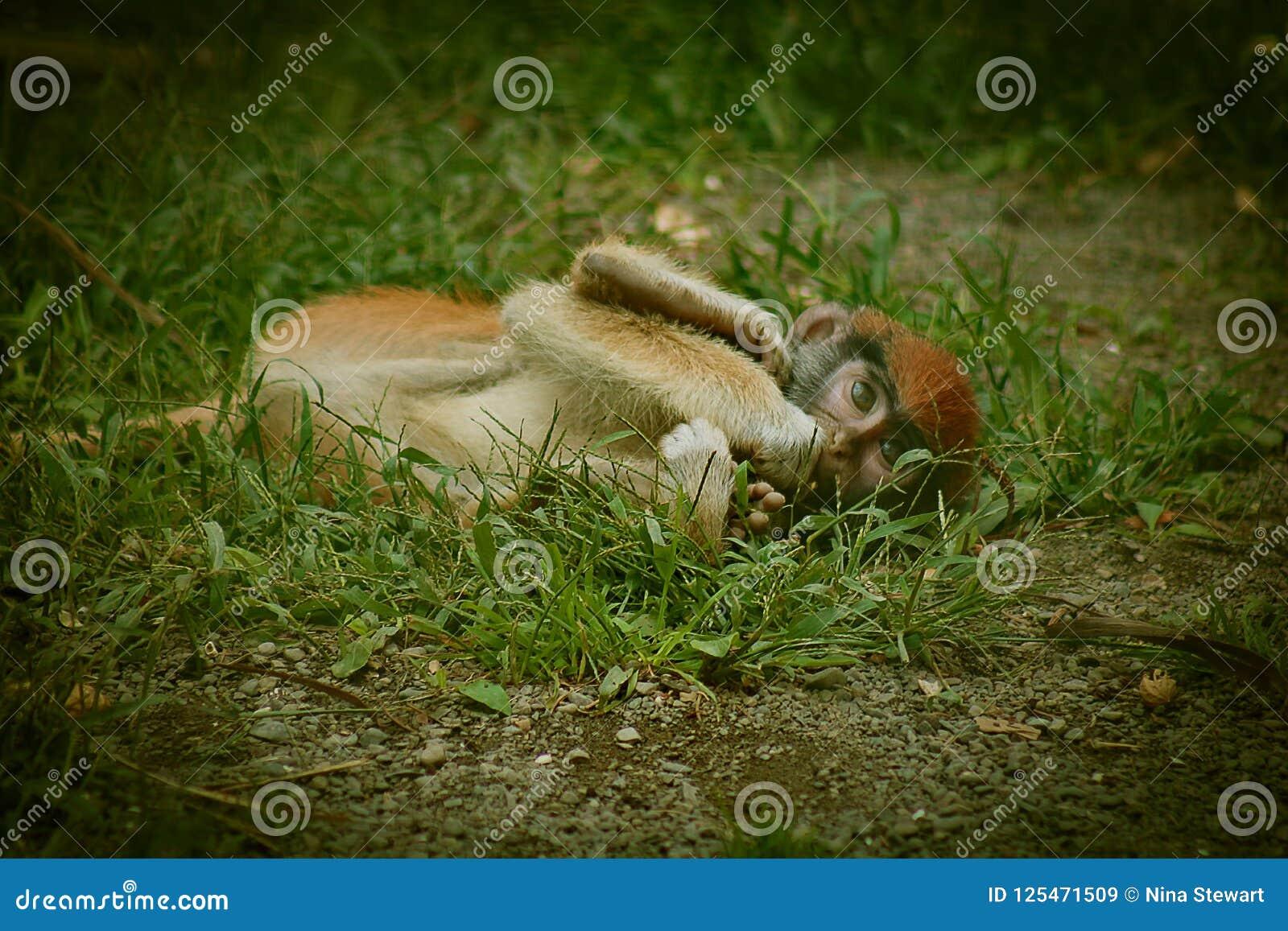 Babyaap die op de grond in gevangenschap met rood hoofd leggen