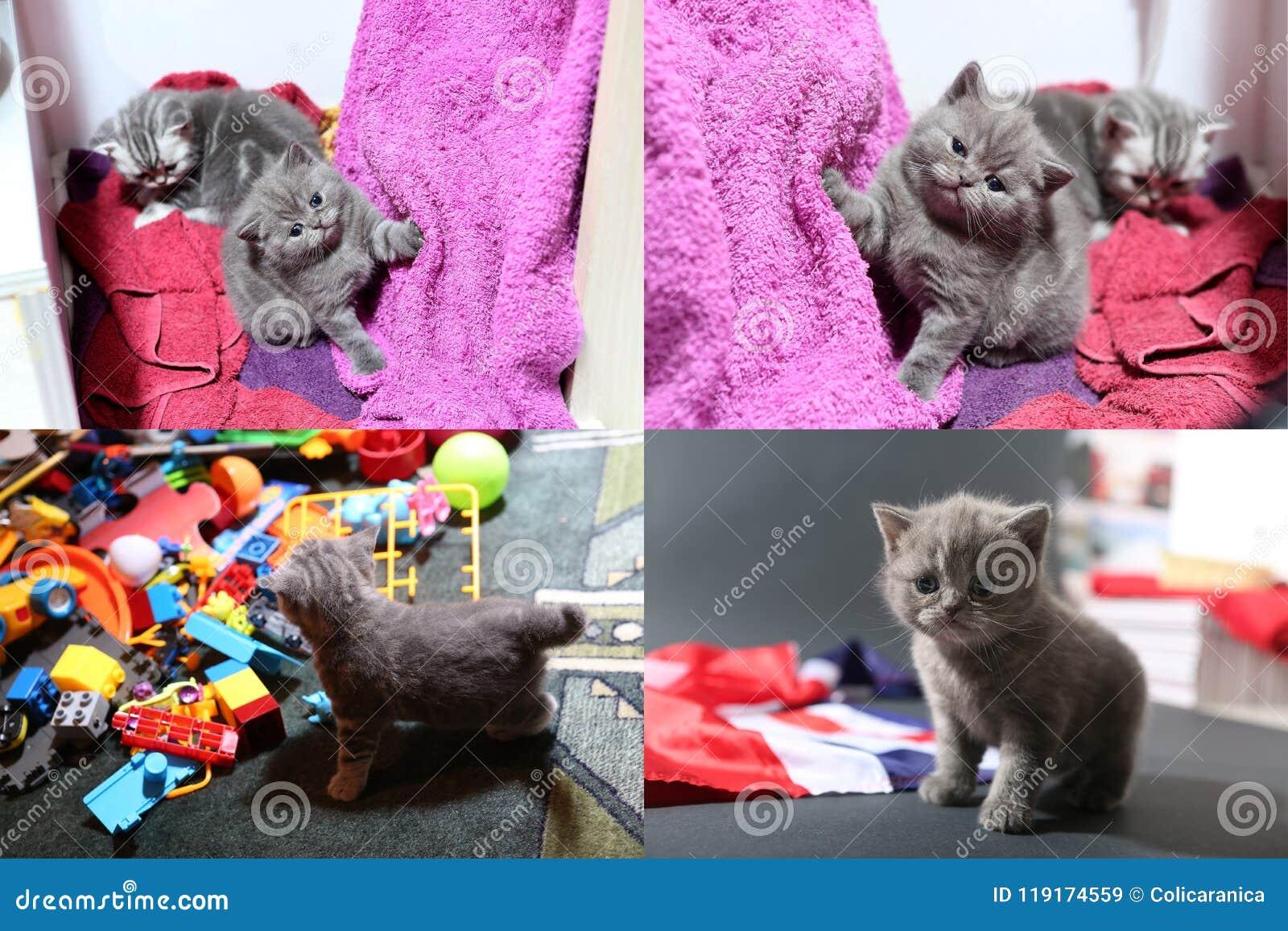 Babykatjes die met speelgoed en met de vlag van Groot-Brittannië spelen, multicam