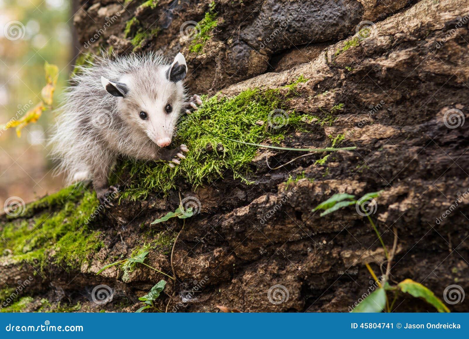 Babyopossum