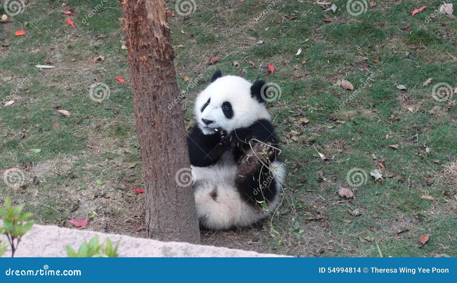 Babypanda die bamboebladeren in Sichuan Panda Reserve eet
