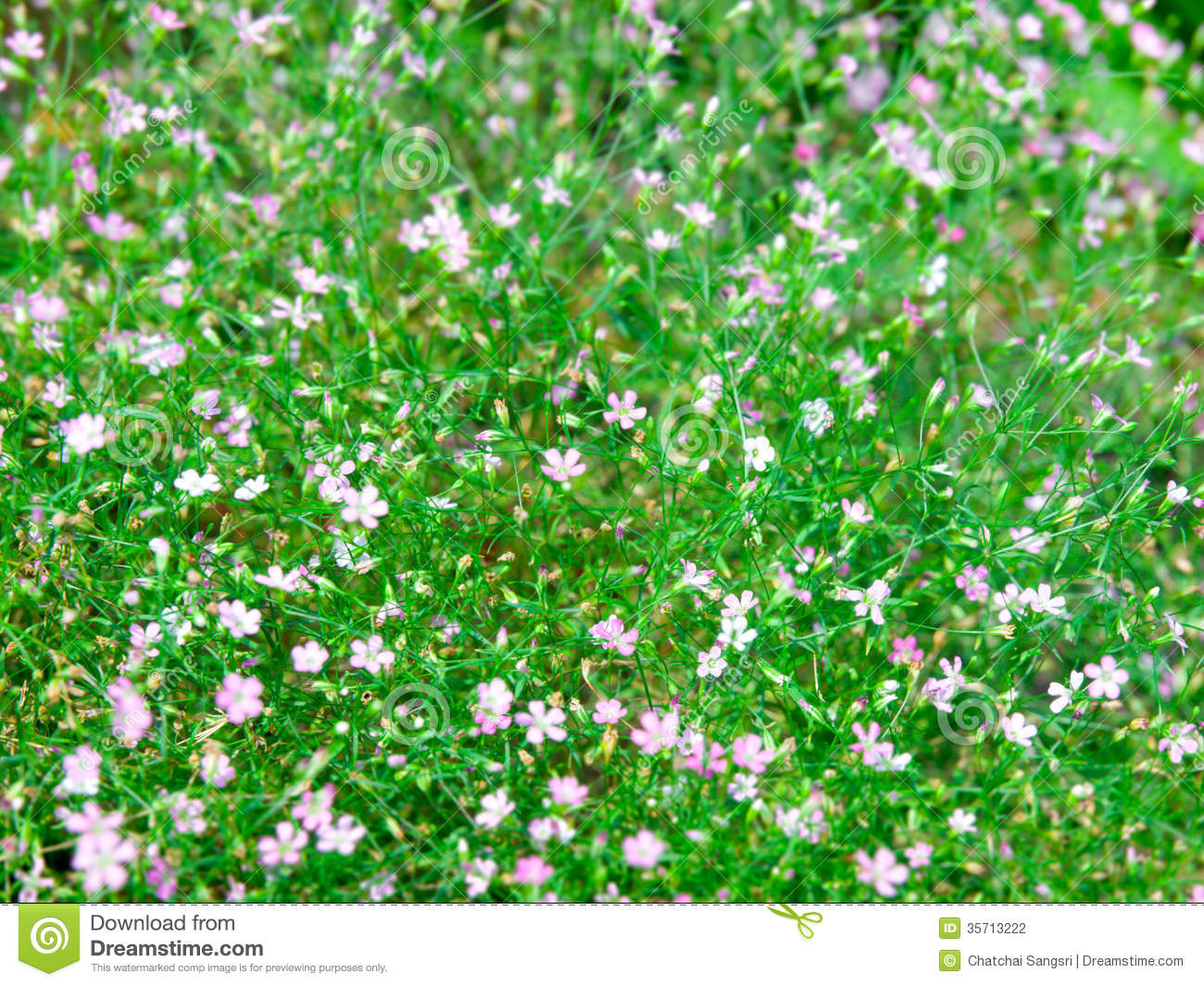 Baby's Breath Stock graphy Image