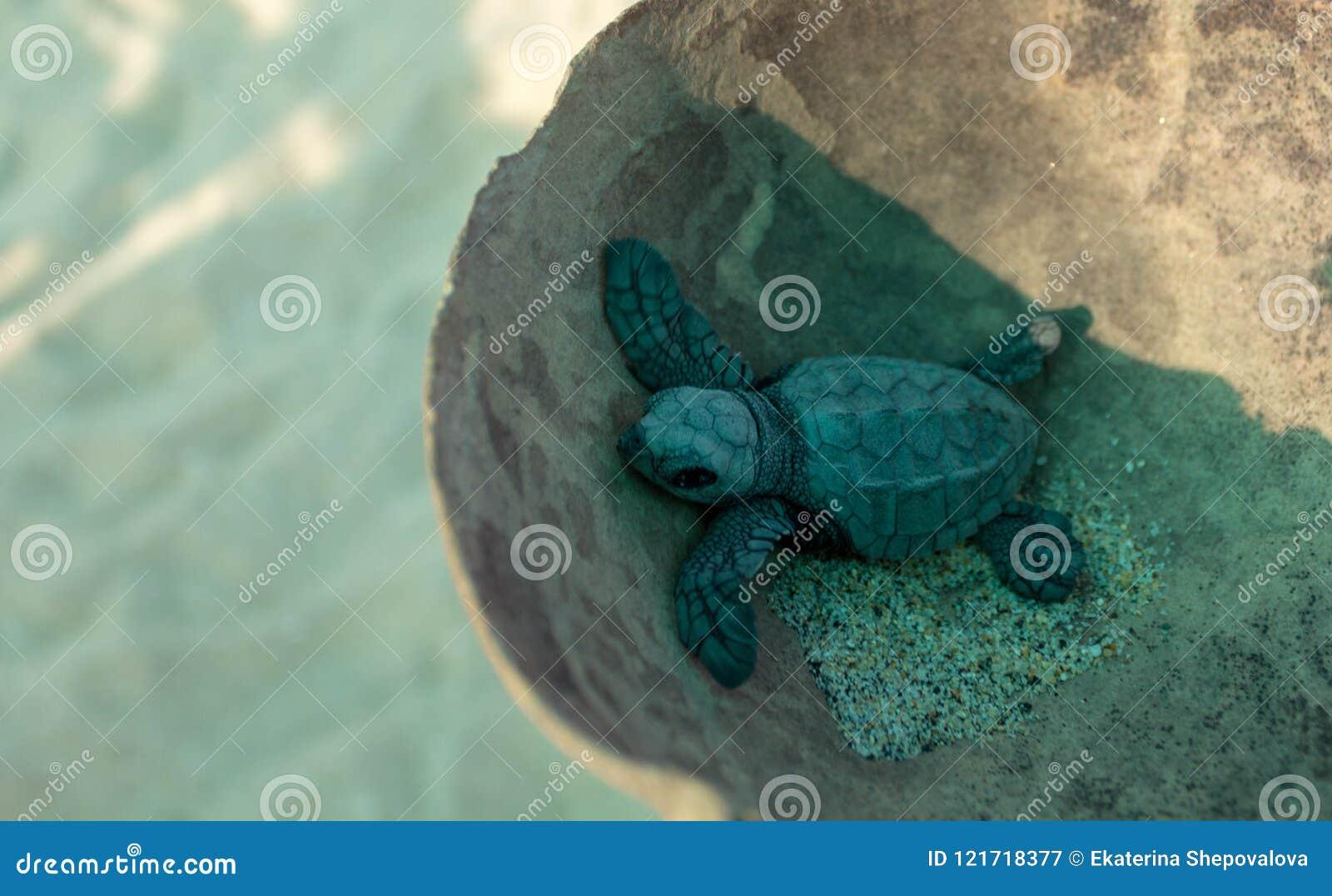Babyturtle tortuga tortoiseshell