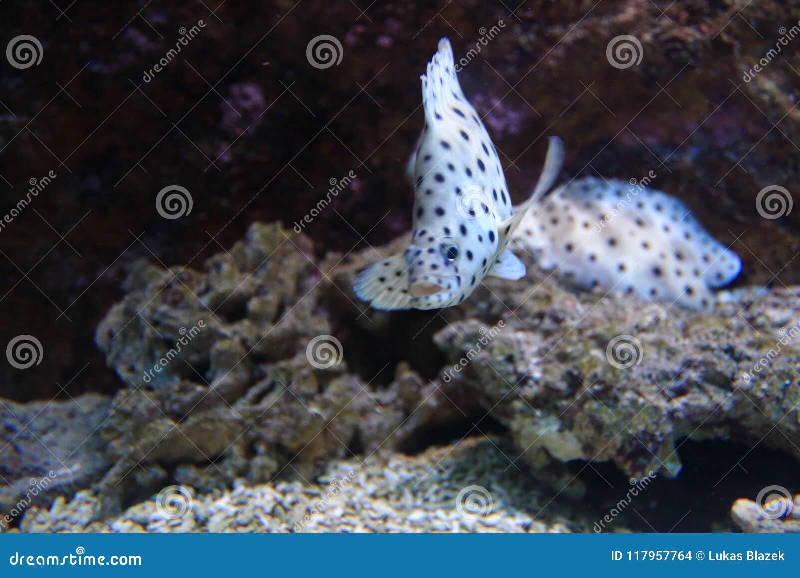 Bacalao de Barramundi