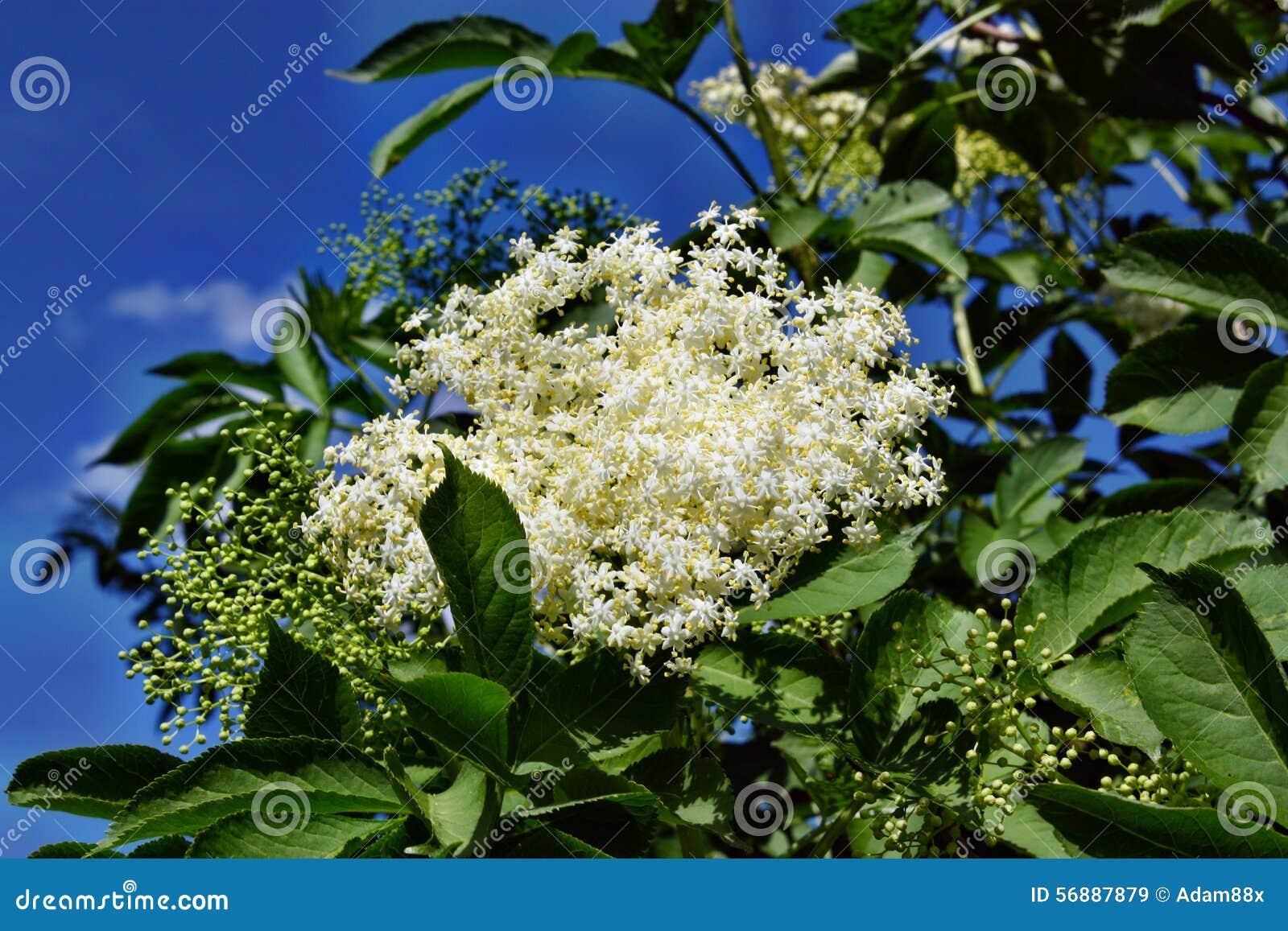 Bacca di sambuco di fioritura