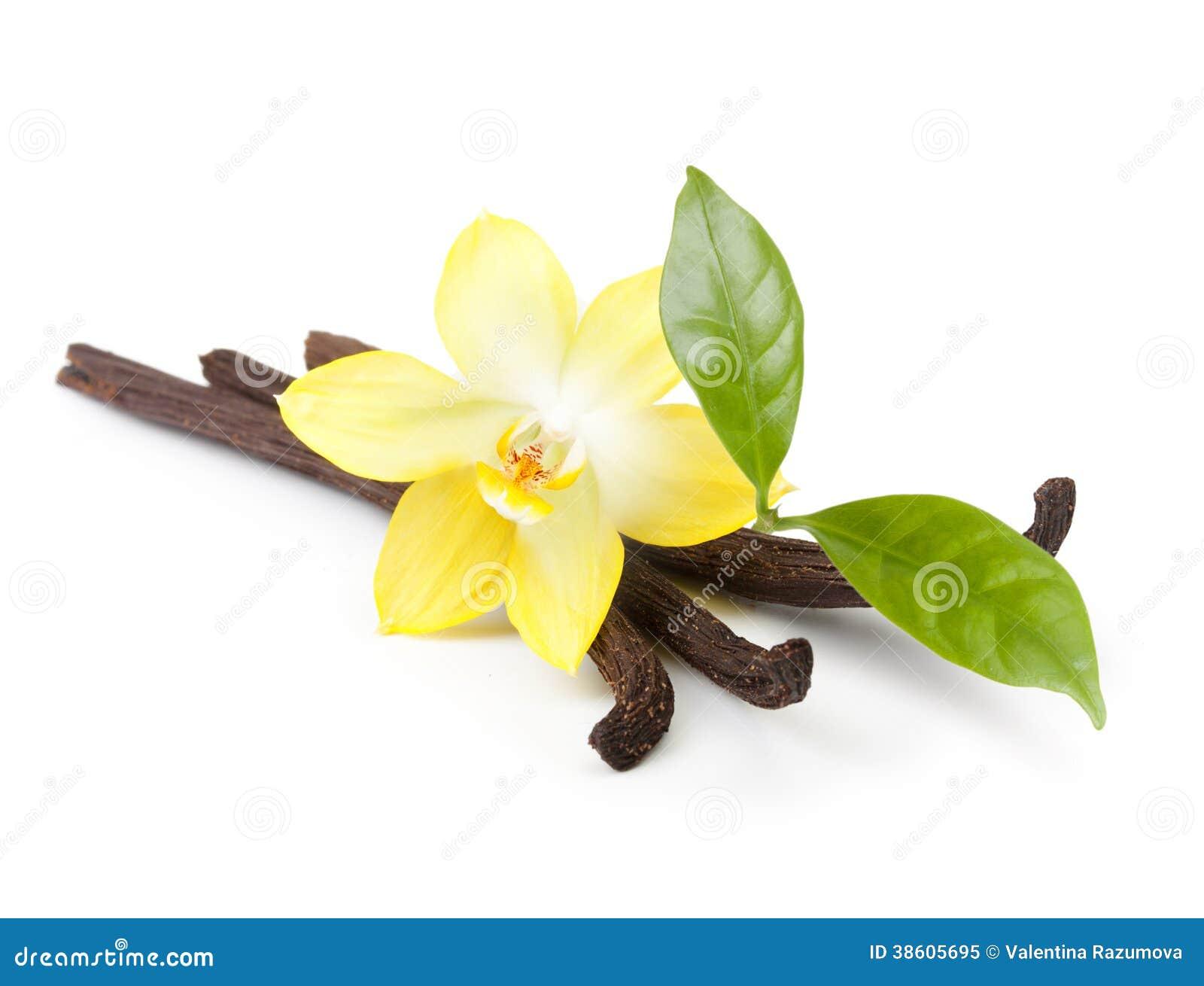 Baccelli e fiore della vaniglia isolati