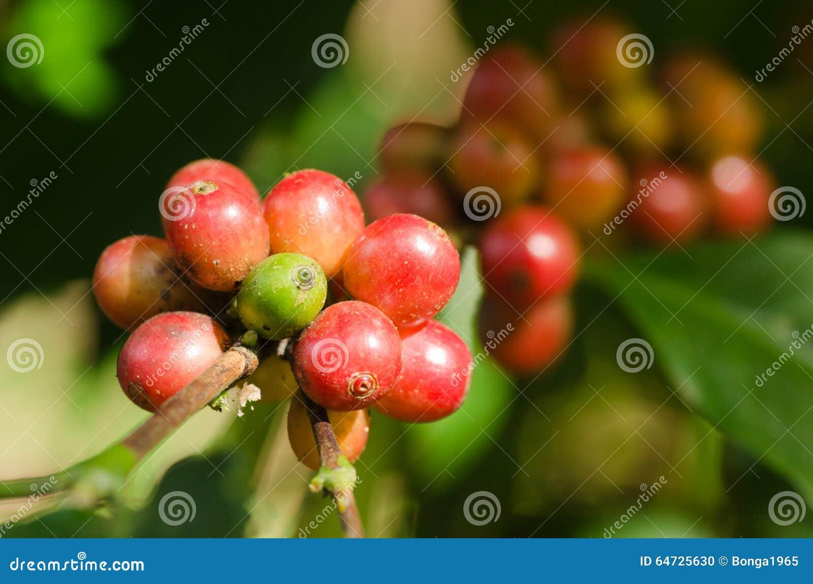 Bacche di caffè Arabica sul ramo