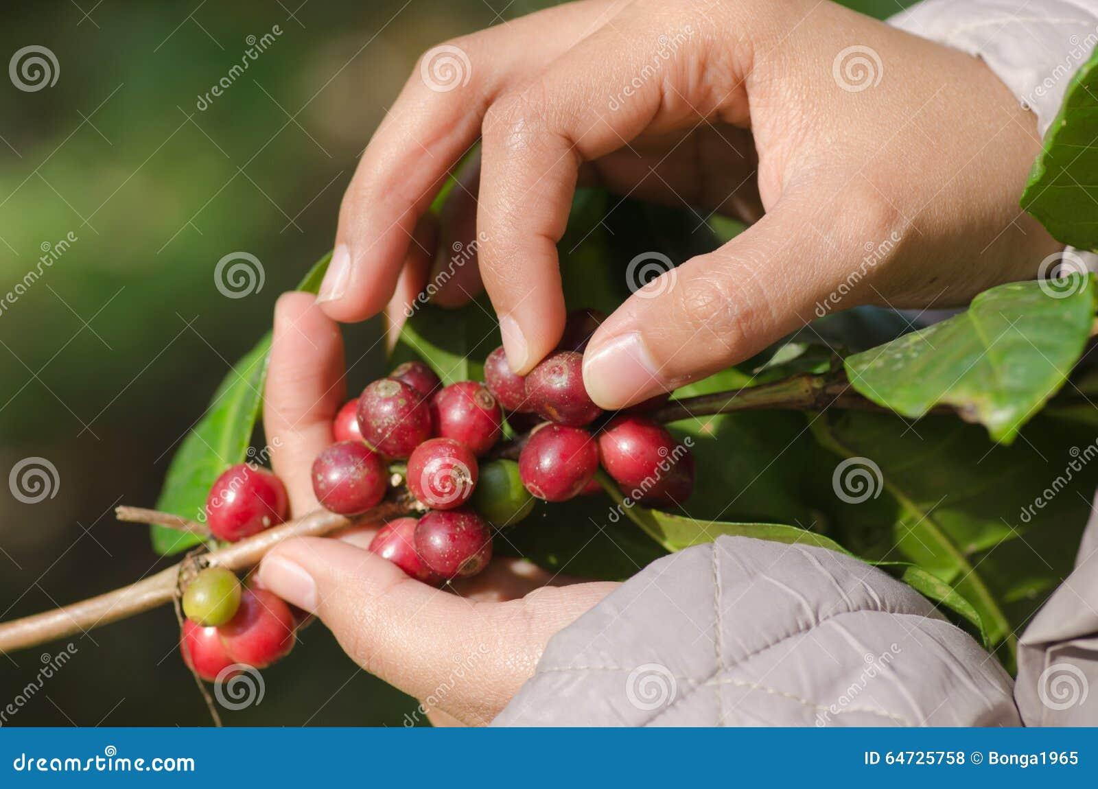 Bacche di caffè Arabica sulle mani