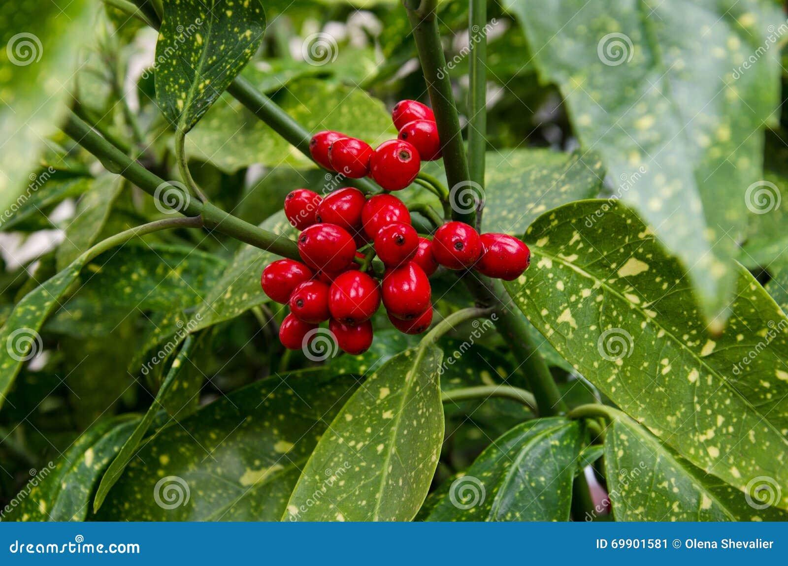 Pianta Ornamentale Con Bacche Rosse bacche pianta ornamentale immagine stock. immagine di bacche