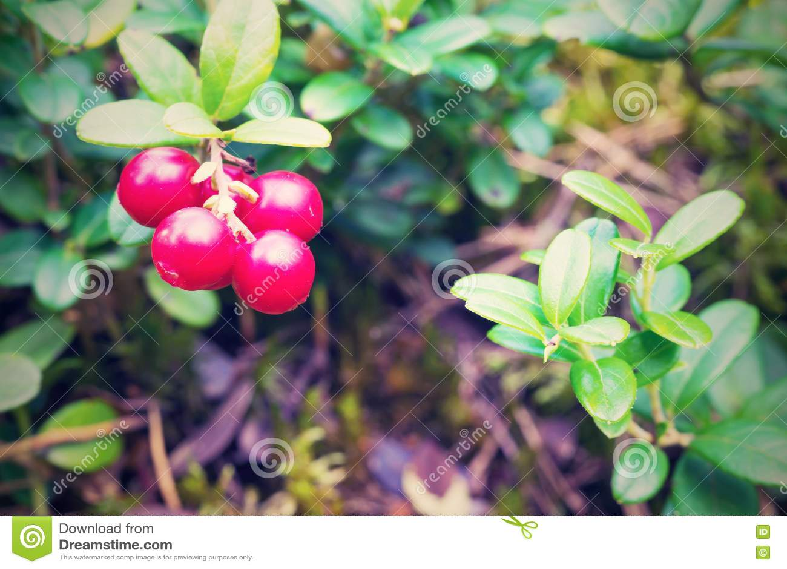 bacche rosse del mazzo del primo piano selvaggio dell 39 uva
