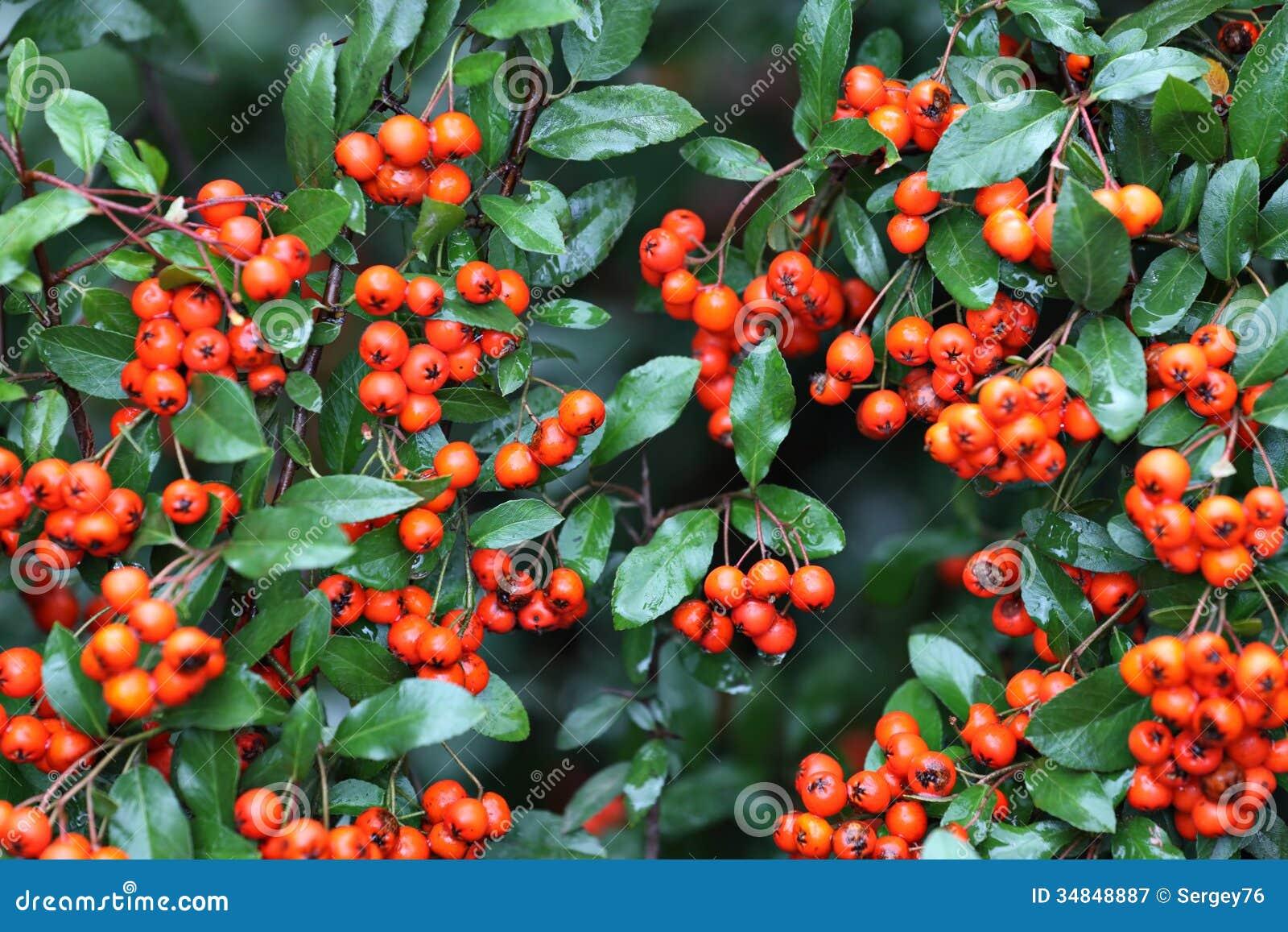 Bacche rosse del pyracantha con le foglie bagnate for Bacche rosse nomi