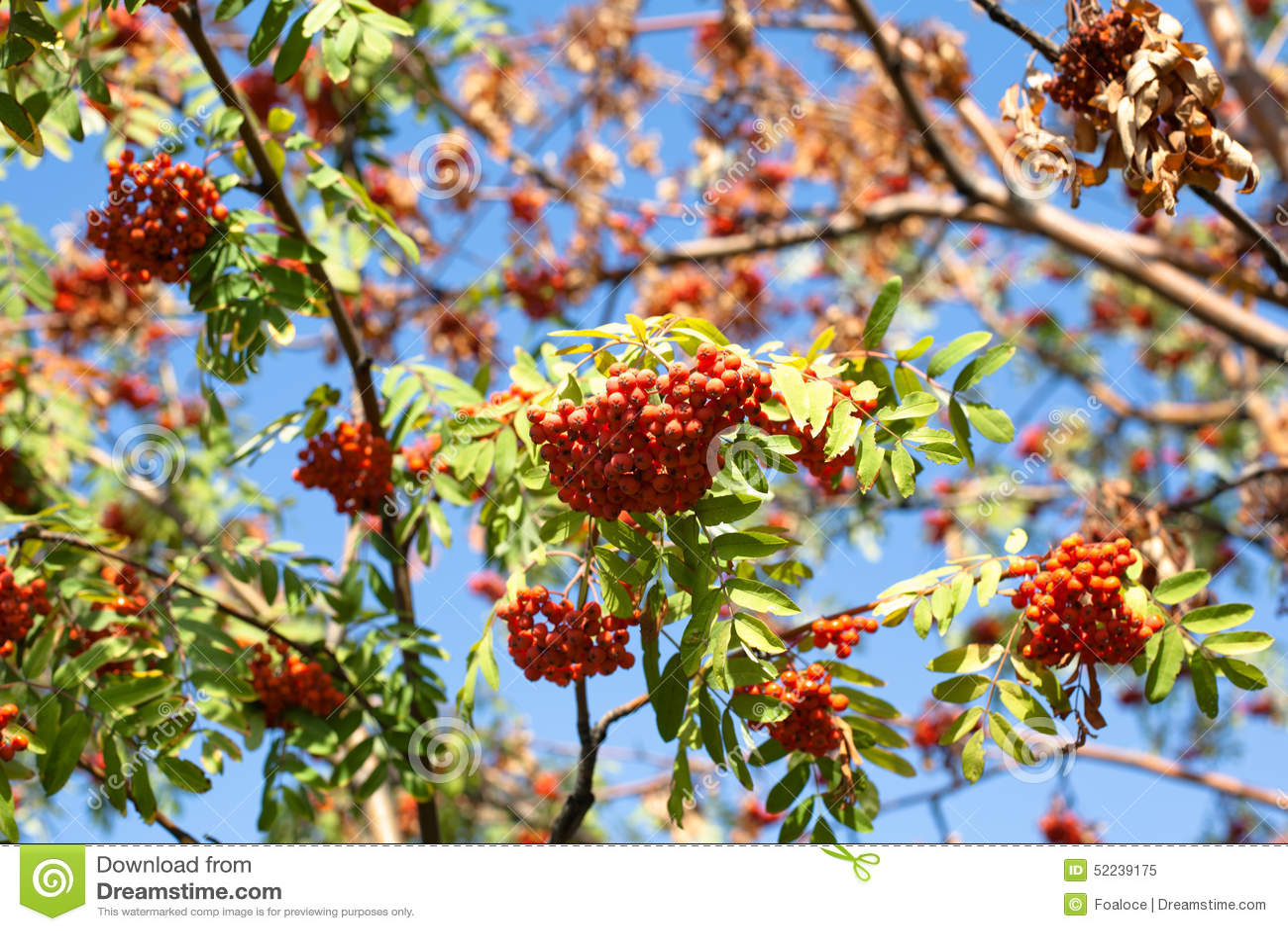 Bacche rosse di autunno immagine stock immagine di giorno for Bacche rosse nomi